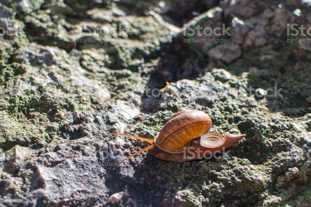 snail moving on the stone royalty-free stock photo