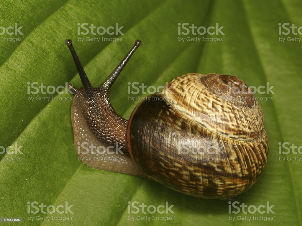Snail on a green leaf royalty-free stock photo