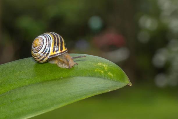 snail on a leaf close up - ślimak gastropoda zdjęcia i obrazy z banku zdjęć