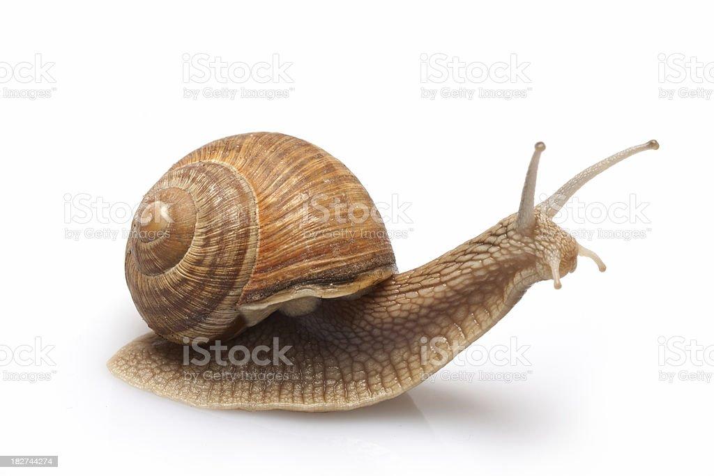 Snail on a white background. royalty-free stock photo