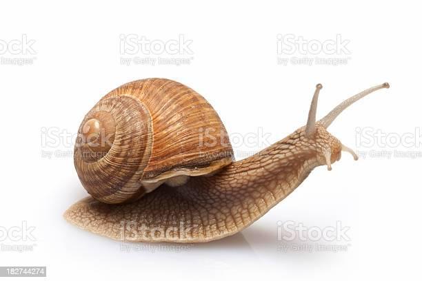 Snail on a white background picture id182744274?b=1&k=6&m=182744274&s=612x612&h=8xhy3kkjauy05iifbhamdg bkfqvjn4ztld5fnuwwz4=