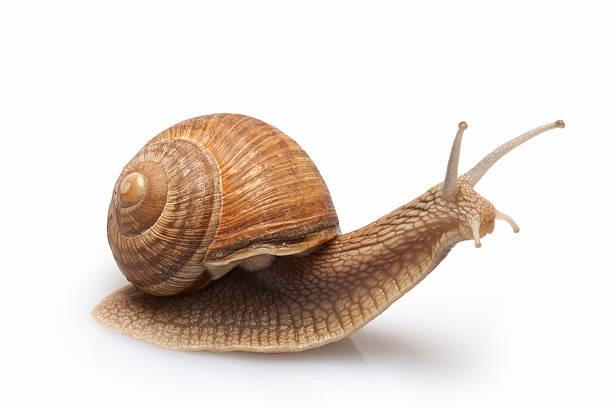 Snail on a white background. stock photo