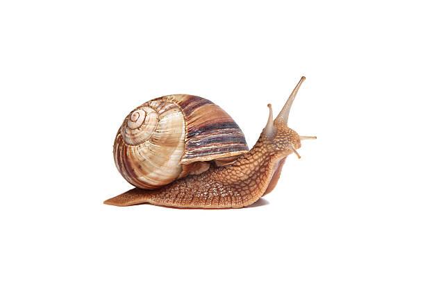 ślimak na białym tle - ślimak gastropoda zdjęcia i obrazy z banku zdjęć