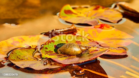 Snail on floating leaves in water