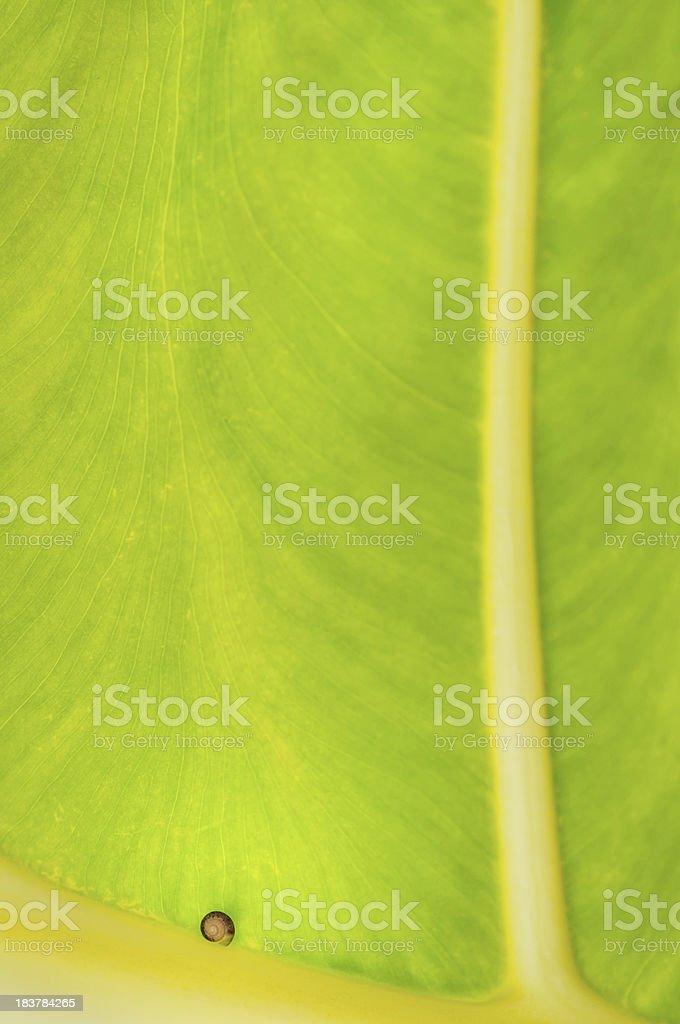 Snail on giant leaf. stock photo