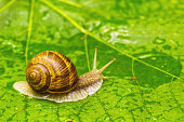 Snail crawling on wet green leaf