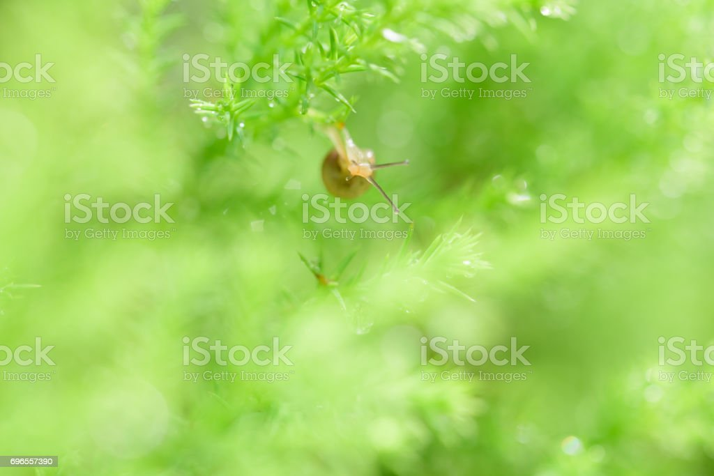 Snail on green leaf with drop after rain stock photo