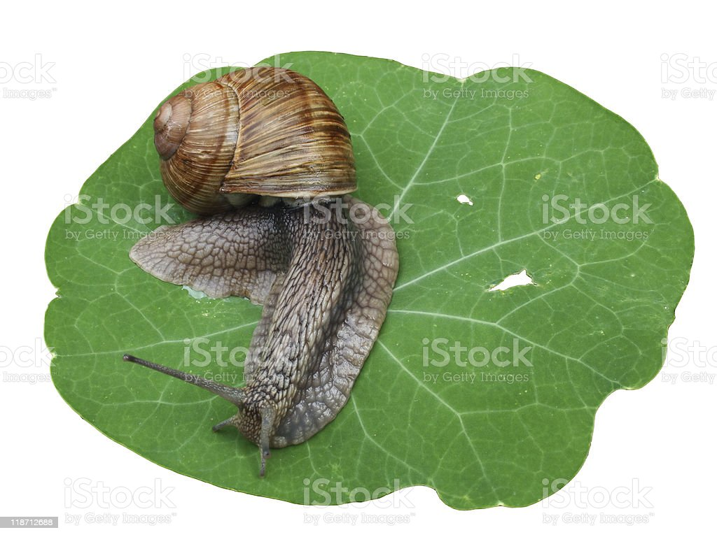 snail on leaf royalty-free stock photo