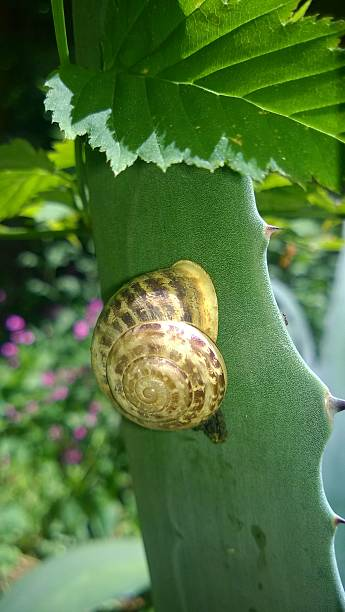 snail on leaf snail, snail, escargot, snail on leaf, snail on aloe vera, grafiker stock pictures, royalty-free photos & images