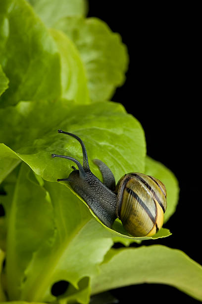 Snail on lettuce leaf stock photo