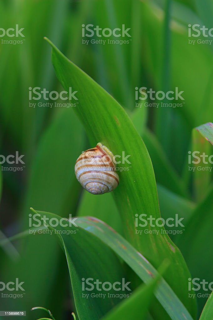 Snail on lily of the valley leaf royalty-free stock photo