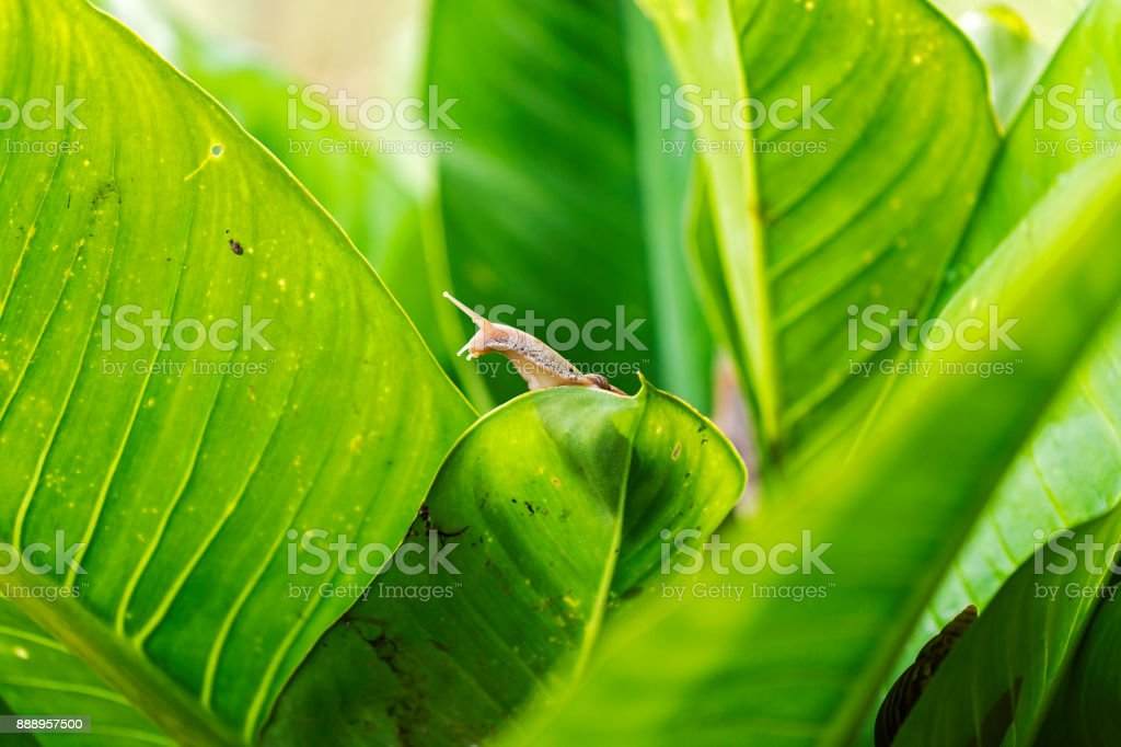 Snail on the leaf. Damage to the garden and create dirt. stock photo