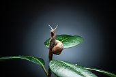 istock snail on the leaf on black background 1133856266
