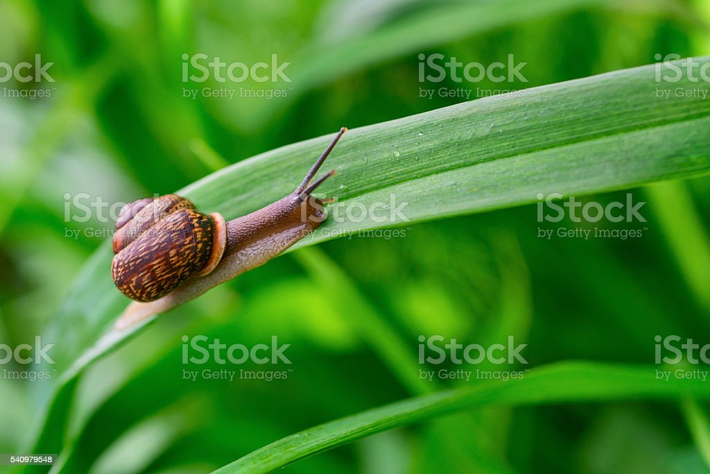 Snail on the leaf. stock photo