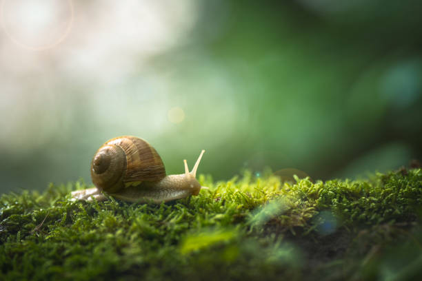 snail on the moss snail in a green forest ambience mollusk stock pictures, royalty-free photos & images