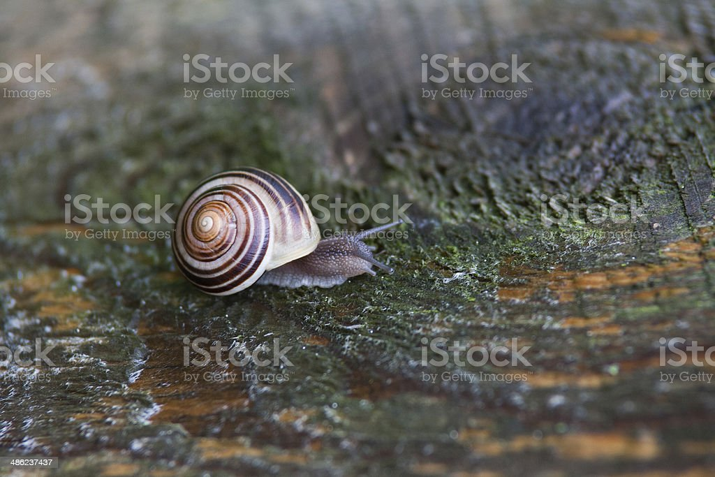 Snail on wood royalty-free stock photo