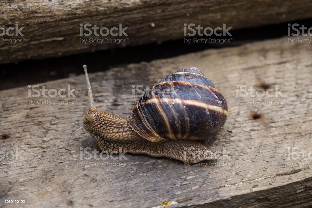 Snail on wooden board stock photo