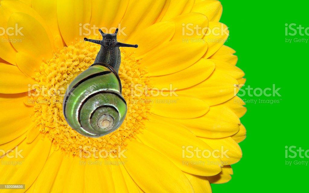 Snail on yellow gerbera flower royalty-free stock photo
