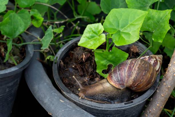 달팽이 또는 거대한 아프리카 달팽이 (리사차틴 풀리카)는 자연 녹색 배경에 농업에서 가장 위험한 해충 중 하나입니다. 스톡 사진