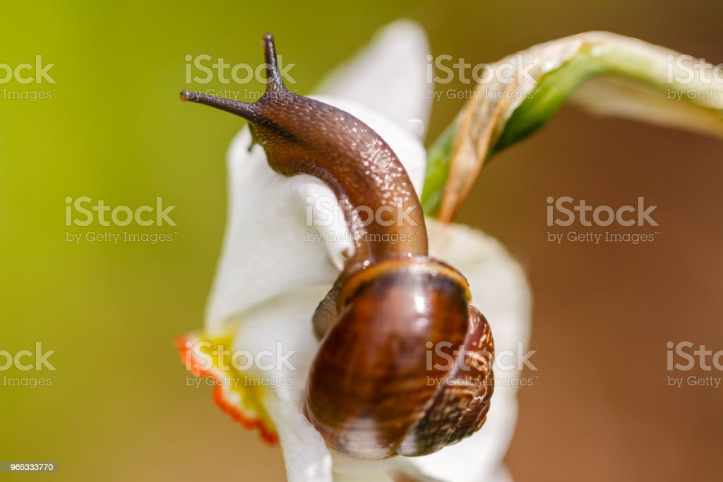 Snail ordinary. Close-up, blurred background. Snail on a flower. Macro mode. Wildlife. royalty-free stock photo