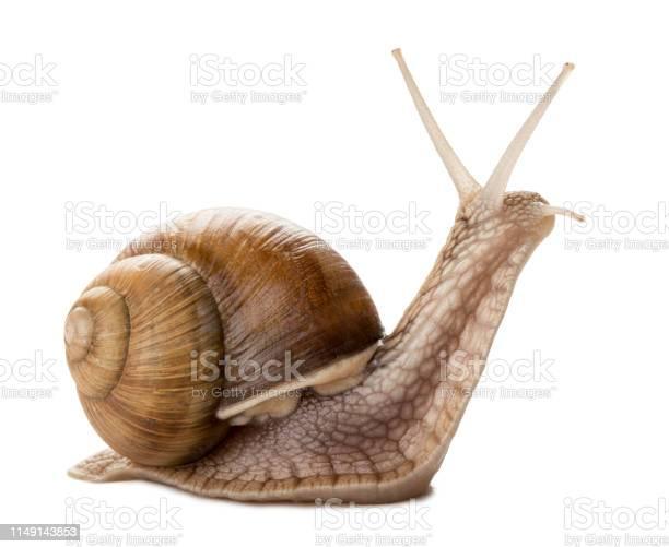 Snail picture id1149143853?b=1&k=6&m=1149143853&s=612x612&h=gl0ho7lovxrge7ewubvcbhgdm asplj5kr47w3ansty=