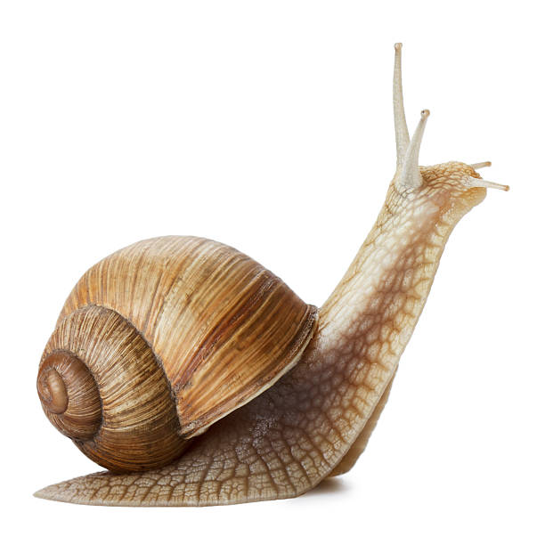 Snail Garden snail isolated on white. helix stock pictures, royalty-free photos & images