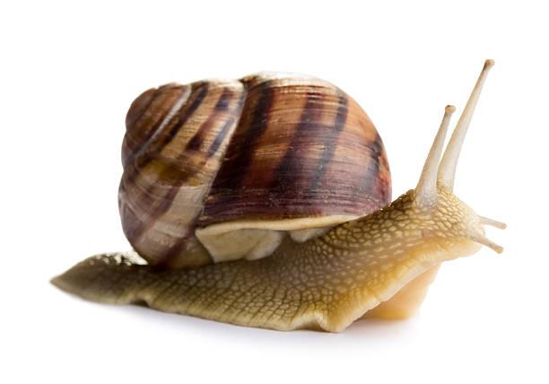 ślimak - ślimak gastropoda zdjęcia i obrazy z banku zdjęć