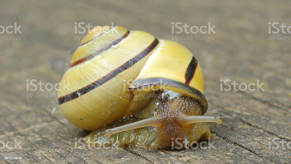 Snail royalty-free stock photo