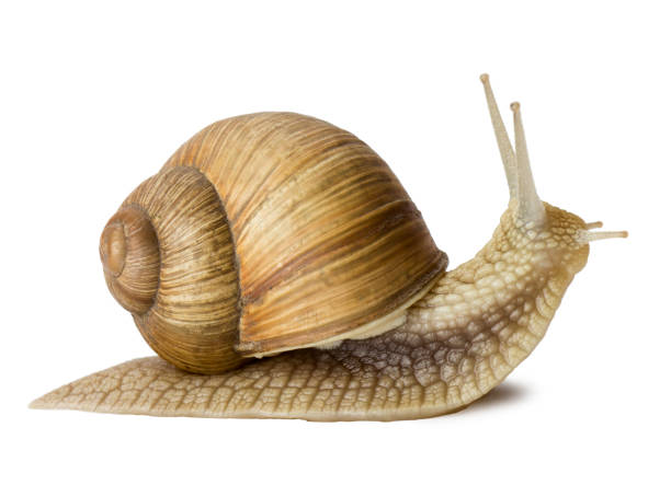 Snail Garden snail isolated on white. invertebrate stock pictures, royalty-free photos & images