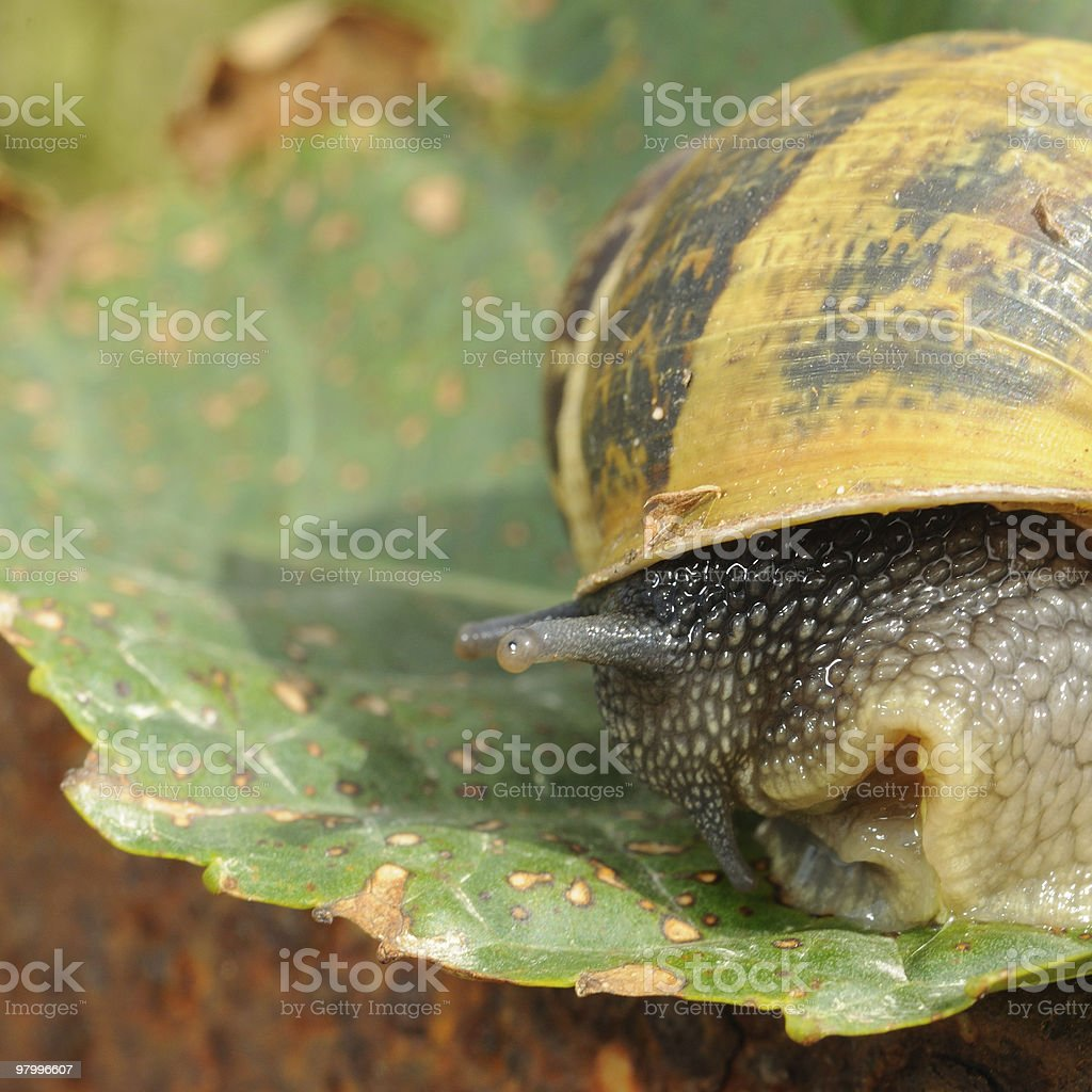 Snail royalty-free stock photo