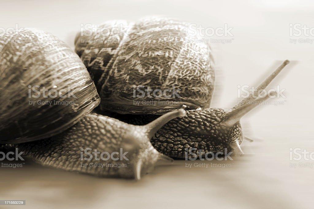 Snail race royalty-free stock photo