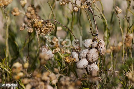 Snail on twigs - Theba pisana