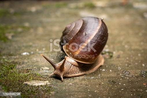 A snail with big helix shell is crawling on the concrete floor. Animal and wildlife photo. Selective focus at it's small eye.