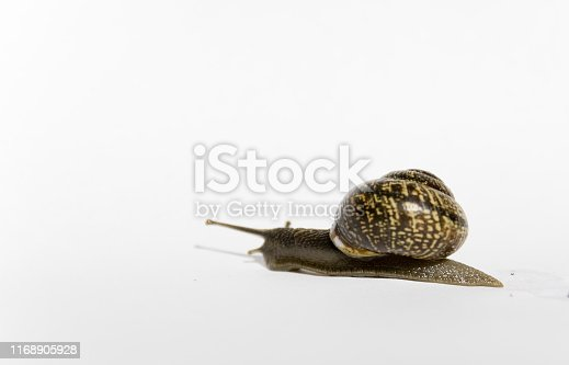 Snail with a shell crawling forward on white background.