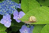 かたつむりと紫陽花