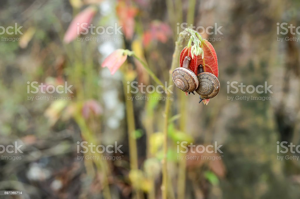 Snails are breeding on red leafs. photo libre de droits
