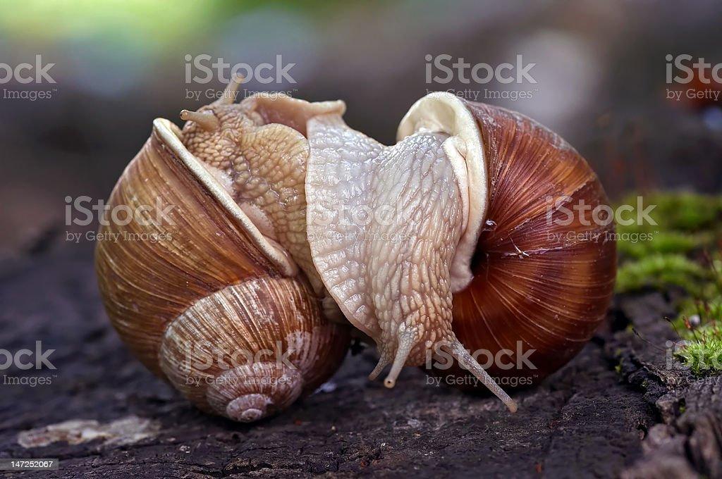 snails like a wrestlers stock photo
