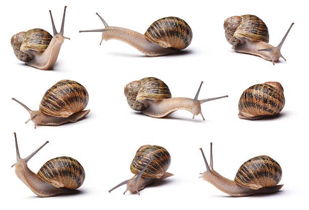 ślimaki - ślimak gastropoda zdjęcia i obrazy z banku zdjęć