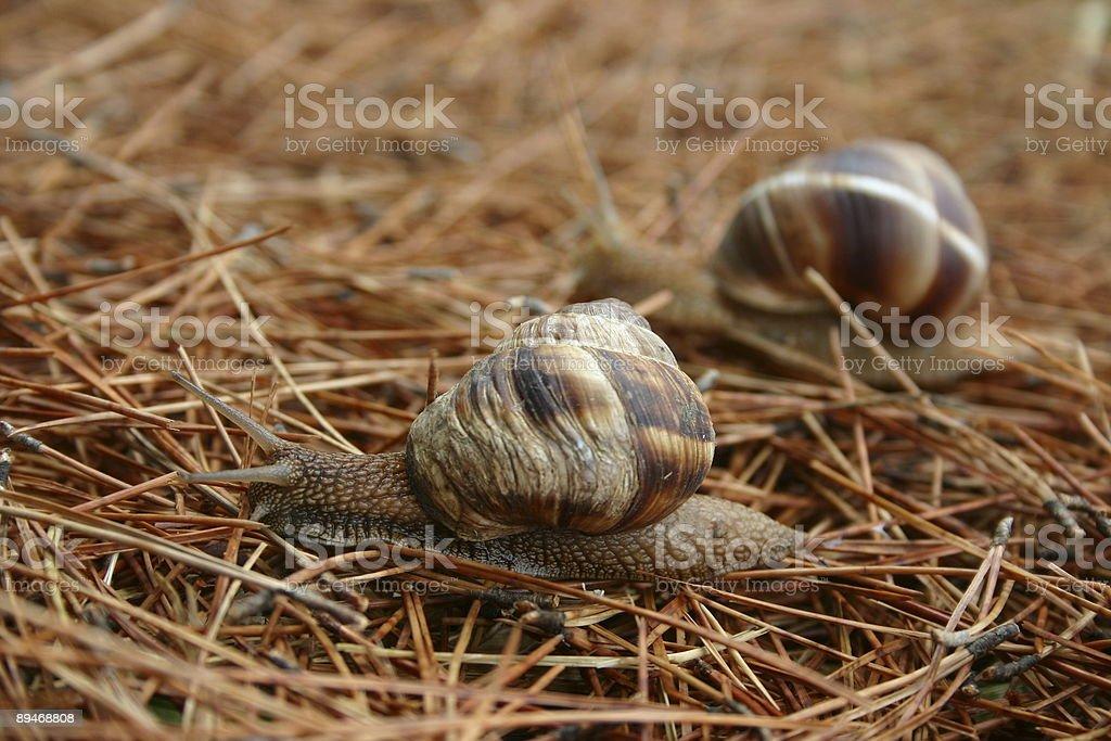 Snails race royalty-free stock photo