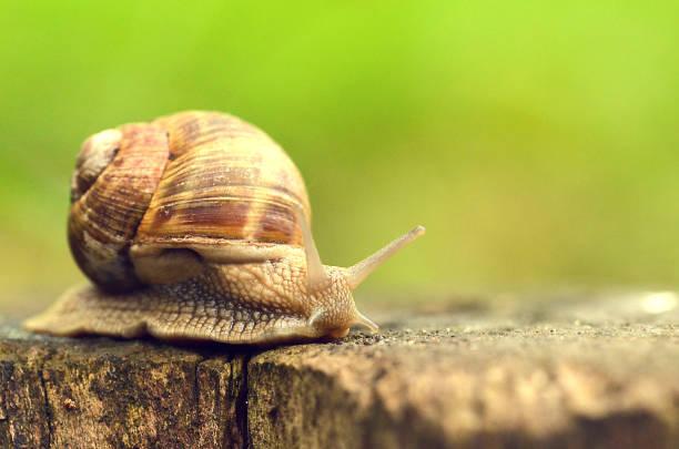 snails reaching a stick foraging - ślimak gastropoda zdjęcia i obrazy z banku zdjęć
