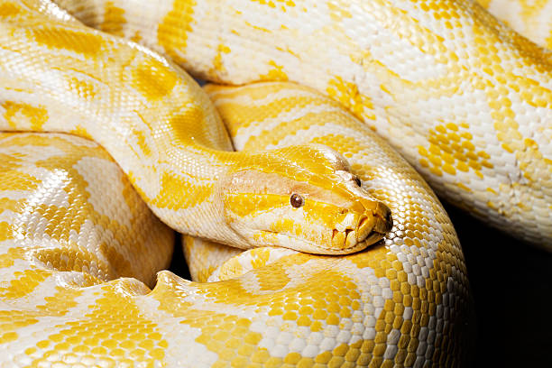 Snake - Albino burmese python stock photo