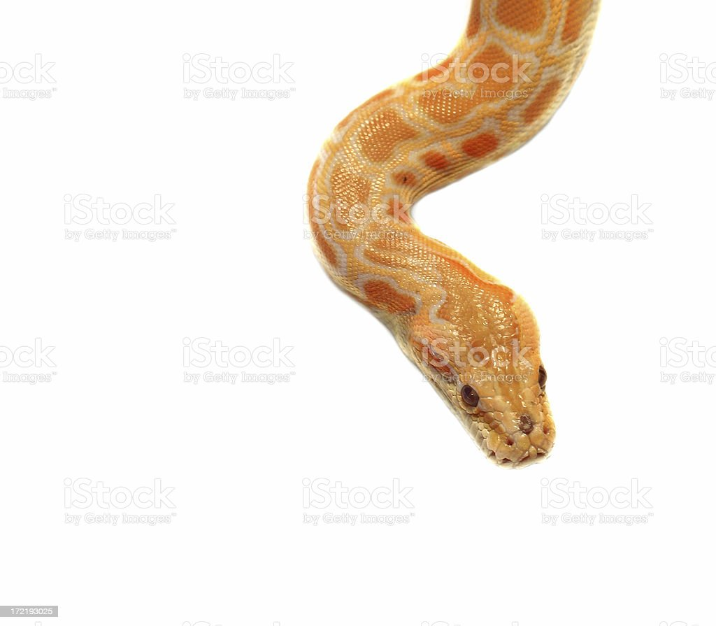 snake an albino royalty-free stock photo