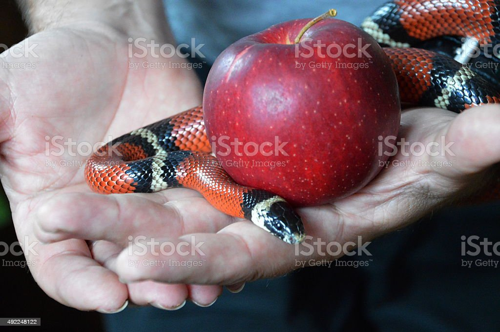 snake and forbidden fruit stock photo