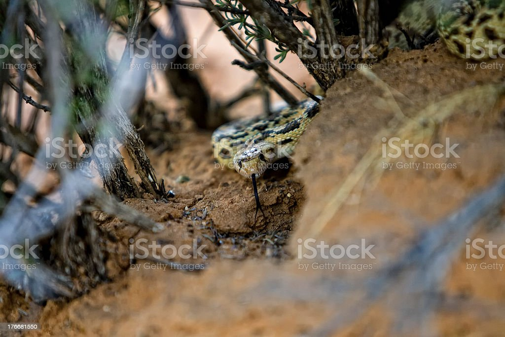 Snake at desert royalty-free stock photo