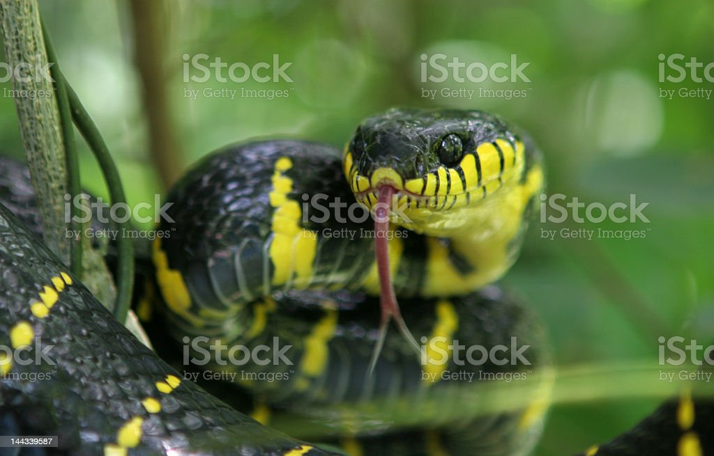 Snake attack royalty-free stock photo