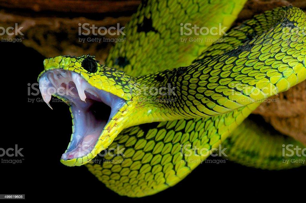 Serpiente ataque. - foto de stock
