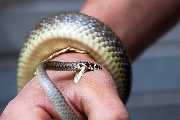 snake bite - snake stock photos and pictures