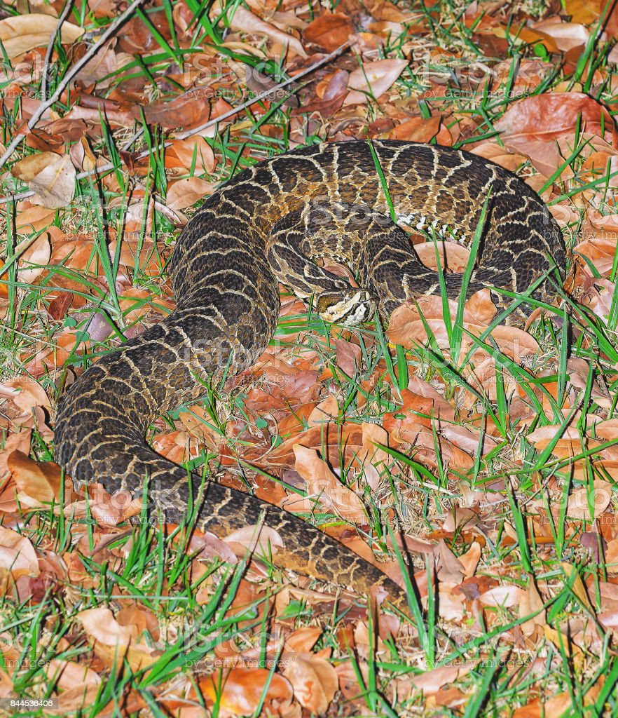 Serpente Bothrops, conhecido como Jararaca no Brasil - foto de acervo