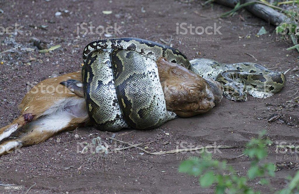 Wąż rejestruje deer – zdjęcie