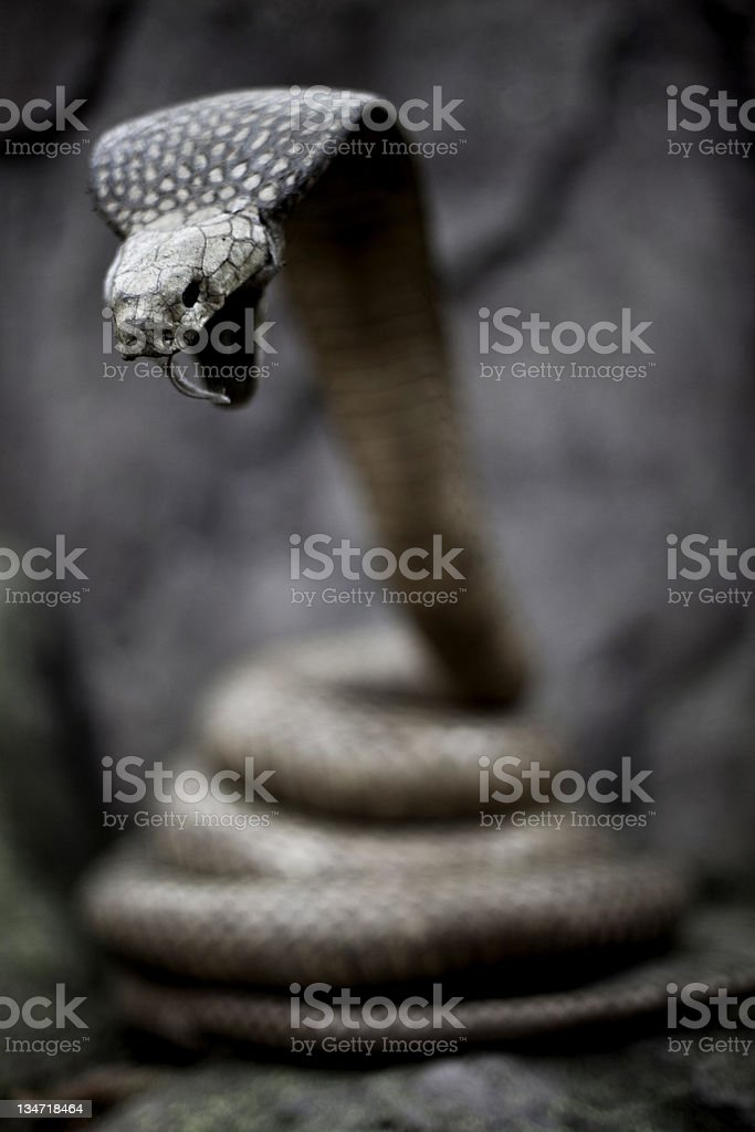 Snake - Cobra royalty-free stock photo